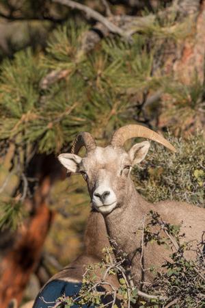 ewe: Desert Bighorn Sheep Ewe Stock Photo
