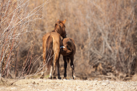 mare and foal: Wild Horse Mare and Foal Stock Photo