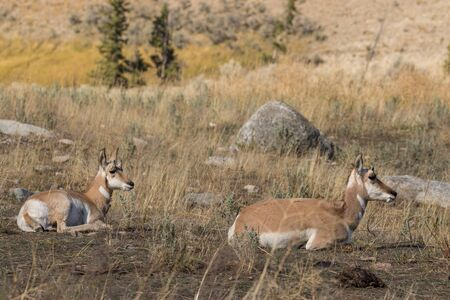doe: Pronghorn Antelope Doe and Fawn