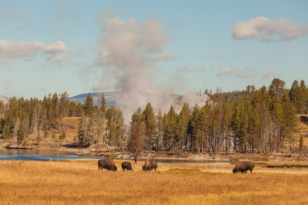 geysers: Bison and Geysers