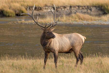 elk: Bull Elk Stock Photo
