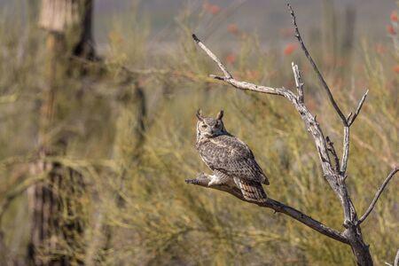 horned: Great Horned Owl Stock Photo