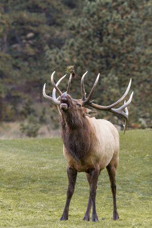 wapiti: Bull Elk Bugling