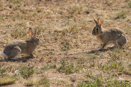 face off: Cottontail Face Off