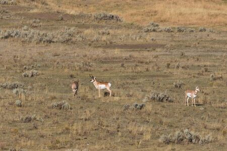 rut: Pronghorn Buck and Does in Rut Stock Photo