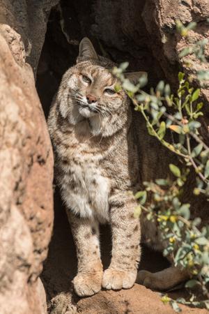 lince rojo: Bobcat