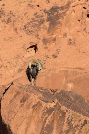 bighorn sheep: Desert Bighorn Sheep Ram