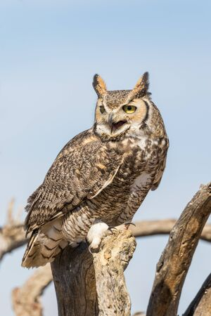 great: Great Horned Owl Stock Photo