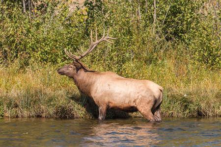 rut: Bull Elk in the Fall Rut