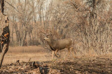 mule: Mule Deer Buck