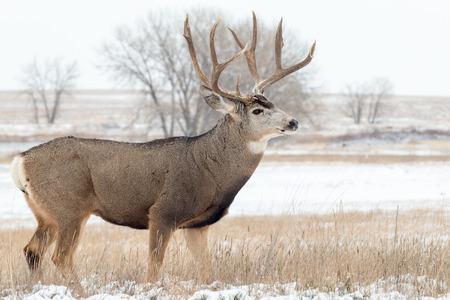 mule deer: Mule Deer Buck in Snow