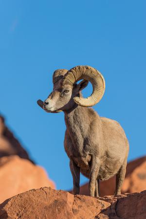 borrego cimarron: Desert Bighorn Sheep Ram