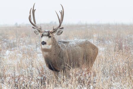 mule: Mule Deer Buck in Snow