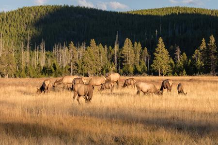 wapiti: Elk Herd in Rut