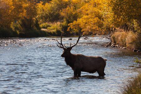 wapiti: Bull Elk in Stream Stock Photo