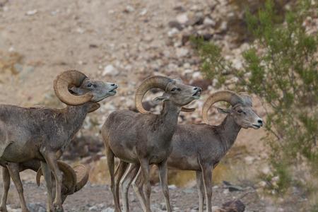 rut: Desert Bighorn Sheep Rams in Rut