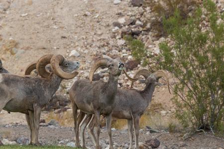 borrego cimarron: RAM de las ovejas de Bighorn del desierto en celo
