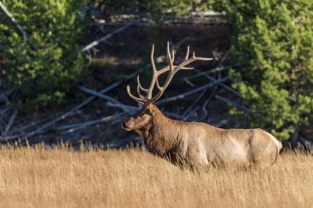 rut: Bull Elk in Rut