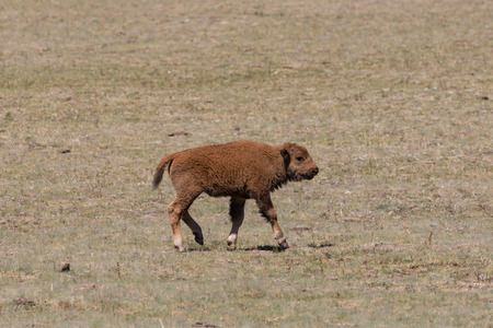 bison: Bison Calf Stock Photo