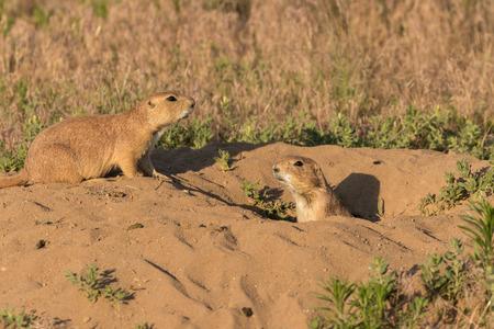 burrow: Prairie Dogs