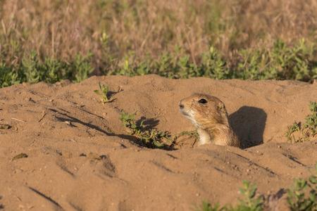 burrow: Prairie Dog