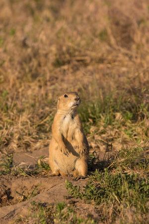 prairie dog: Alert Prairie Dog