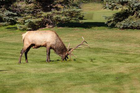 rutting: Bull Elk Rutting