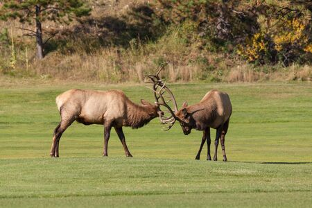 fighting bulls: Bull Elk Fighting Stock Photo