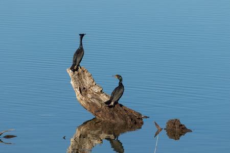 cormorant: Double Breasted Cormorant Stock Photo