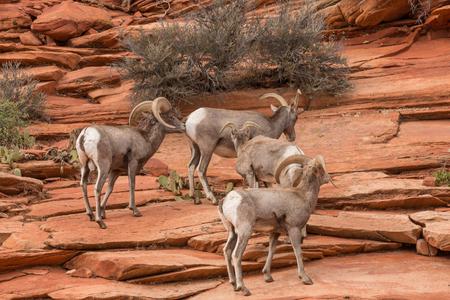 borrego cimarron: Rebaño de ovejas de Bighorn del desierto