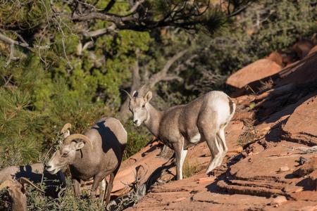 borrego cimarron: Desert Bighorn Sheep