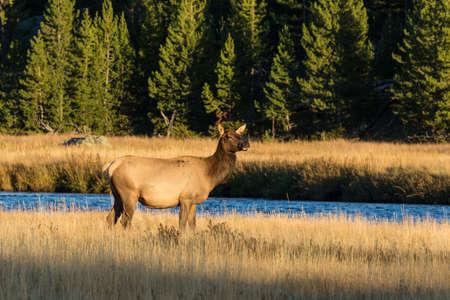wapiti: Cow Elk