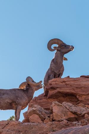 borrego cimarron: Desert Bighorn Sheep Rams