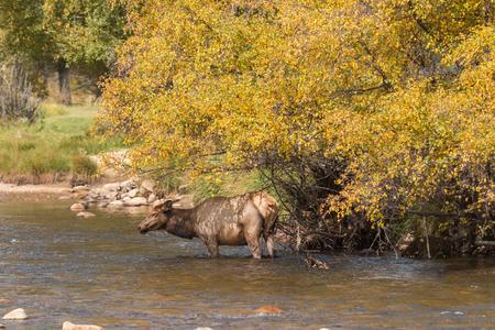 wapiti: Cow Elk Drinking Stock Photo