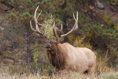 rut: Bull Elk Bugling in the Rut