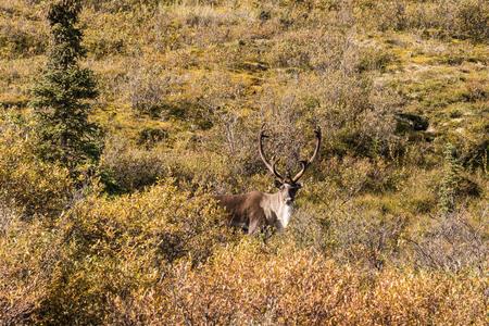 barren: Barren Ground Caribou Bull in Velvet Stock Photo