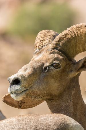 borrego cimarron: Desert Bighorn Sheep Ram Portrait Foto de archivo