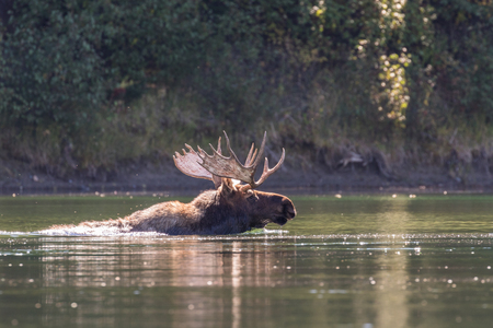 rut: Bull Moose Crossing a River in the Rut