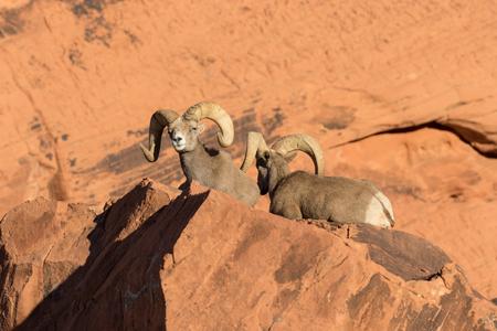 borrego cimarron: Bighorn Sheep Rams del desierto