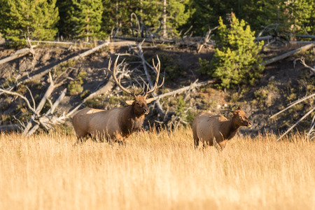 wapiti: Bull And Cow Elk in Rut