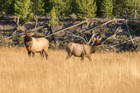 rut: Bull And Cow Elk in Rut