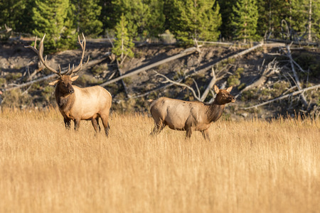 rutting: Bull And Cow Elk in Rut