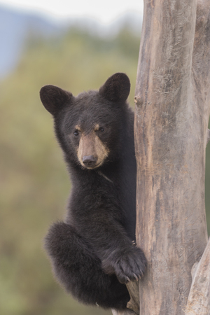 omnivore animal: Black Bear Cub