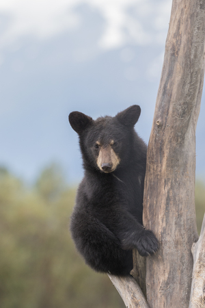 ourson: Black Bear Cub