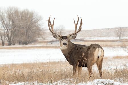 Mule Deer Buck dans la neige