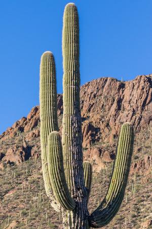 saguaro cactus: Saguaro Cactus Stock Photo