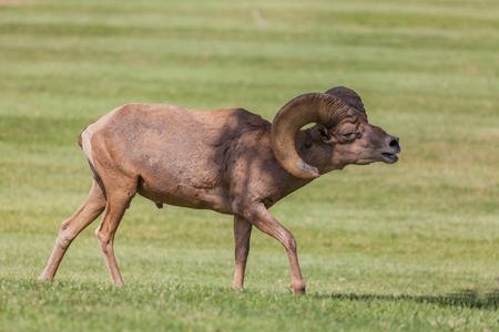 rutting: Desert Bighorn Sheep Ram in Rut