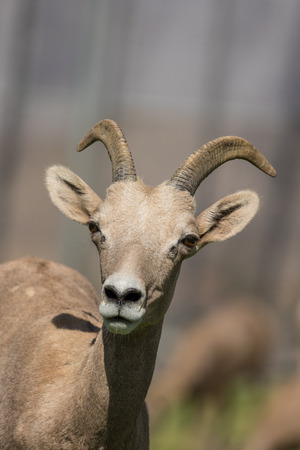 Desert Bighorn Sheep ewe Stock Photo