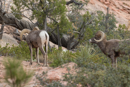 Desert Bighorn Sheep Rams in Rut