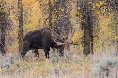 rutting: Bull Moose in Rut in Fall
